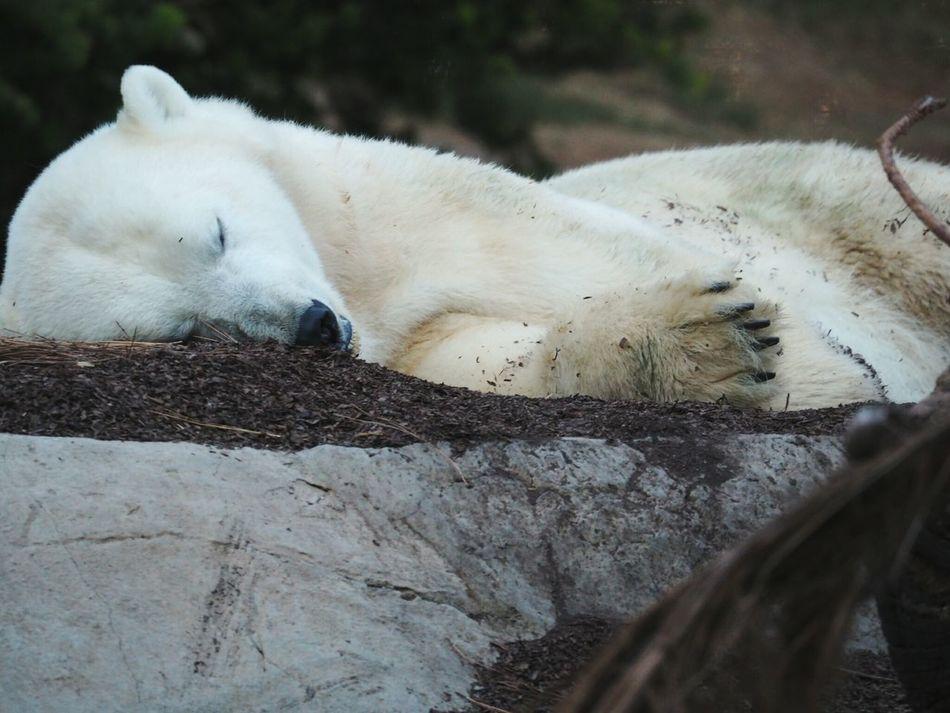 Animals Polar Bear
