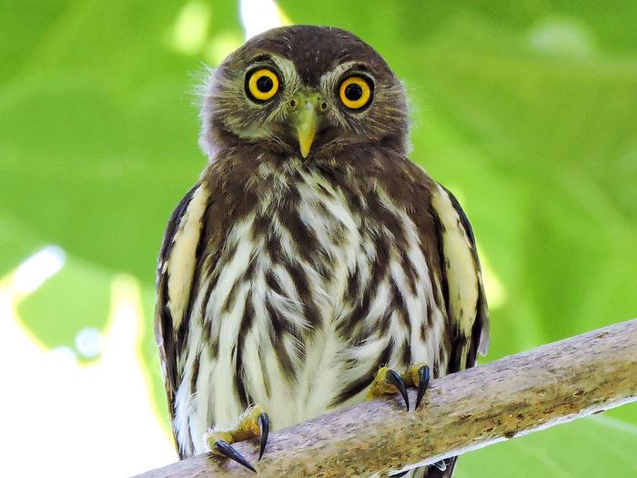 Animal Themes Animal Wildlife Animals In The Wild Bird Bird Of Prey Eye Contact Magazhu Nature No People One Animal Outdoors Owl Perching Pigmy Owl Showcase November Yelapa