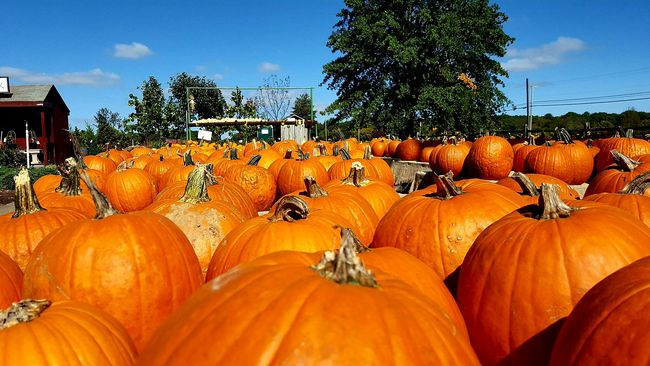Pumpkin Orange Color Abundance Autumn Large Group Of Objects Halloween Gourd Outdoors Freshness Thingsthatmakeyougohmmmm Colors Of Autumn Harvest Season Farmstand Nature Lover Things I Like Passionforphotography
