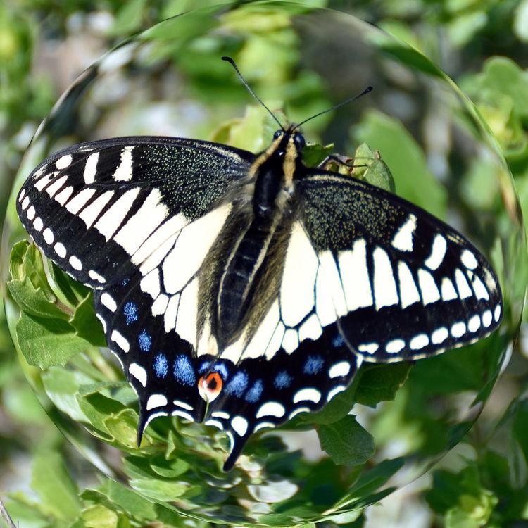 Tiger Swallowtail Butterfly @ San Leandro Shoreline Trail 3 Papilio Glaucus Papilioninae Female Butterfly Blue Spots HindwingsYellow & Black Stripes Distortion Spherize Nature Nature_collection