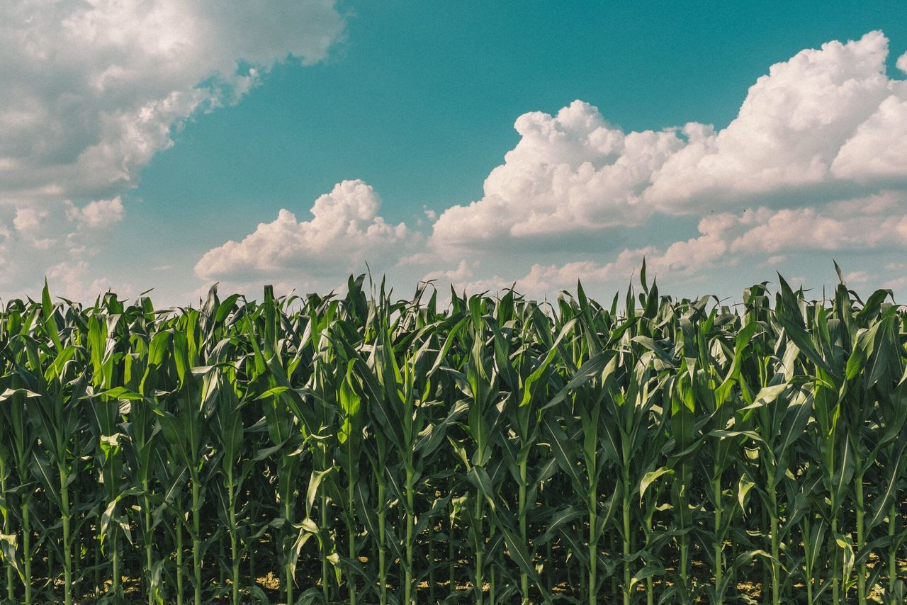 Beautiful stock photos of thanksgiving, Agriculture, Cloud, Corn, Crop