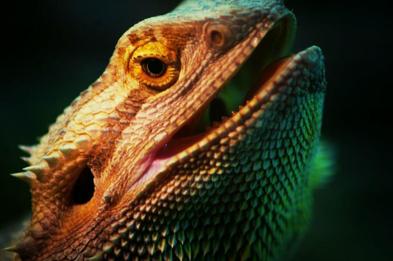 Bearded Dragon portrait Pets Lizard Colors Animals
