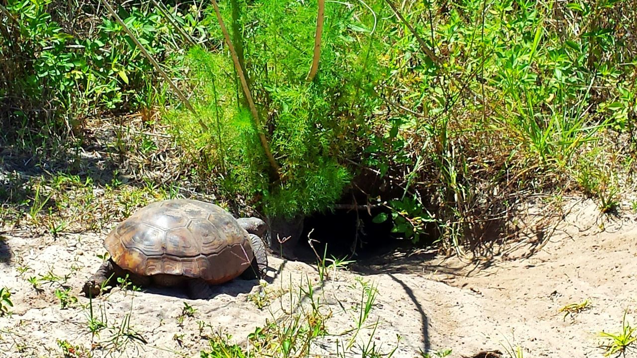Gopher Tortoise Heading Home In The Sunshine Animal Themes Wildlife & Nature Storm Water Park, Sebastian, Fl Green And Brown Sandy Need For Speed Need For Speed Hidden Gems