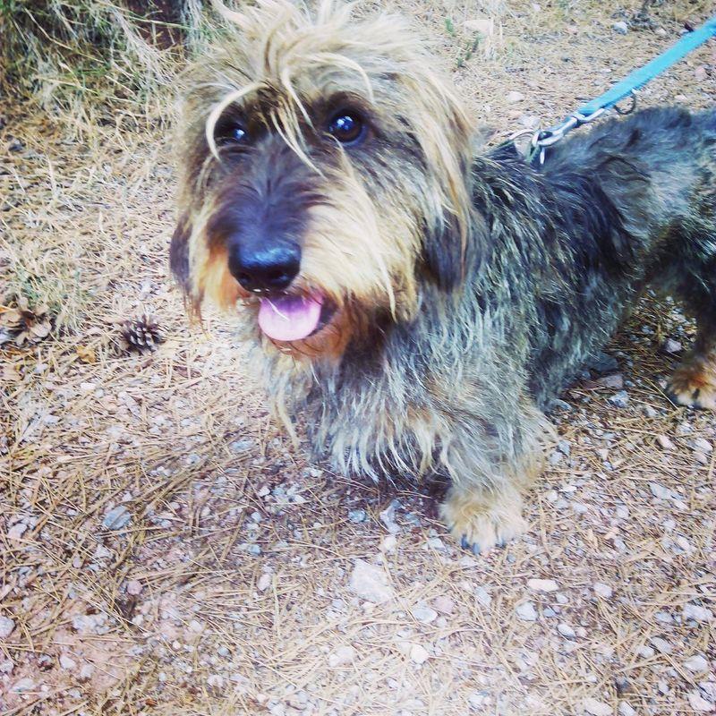 My dog, Chulo.Photooftheday EyeEm Animal Lover Animal Photography Mydog Teckelpeloduro Teckel Dashchund