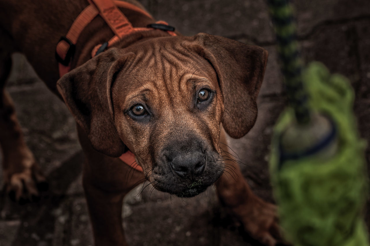 A dog`s pleasure! Animal Head  Animal Photography Animal Themes Art Blurred Close-up Details Textures And Shapes Dof Dog Dog`s Toy Domestic Animals Exposurer Focus On Foreground Glance Isolate Looking At Camera Loyalty Nature One Animal Pets Portrait Puppy Snout Starring Zoology