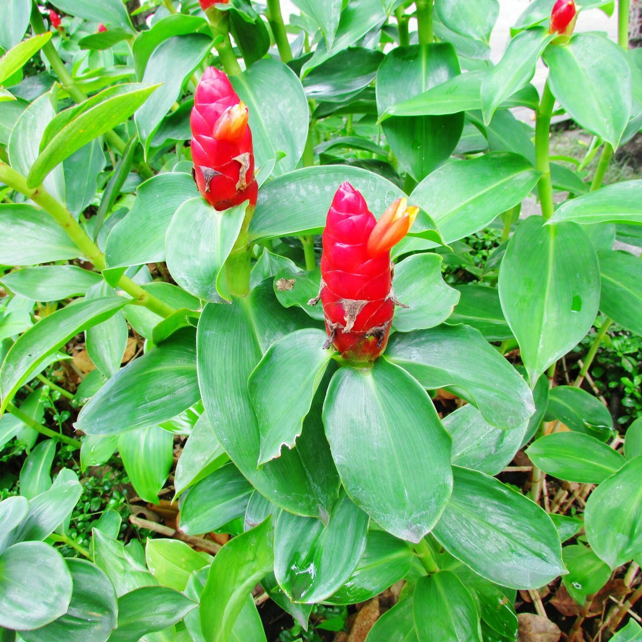 red, leaf, green color, nature, growth, plant, no people, outdoors, day, beauty in nature, food and drink, freshness, close-up, food, flower, flower head, fragility