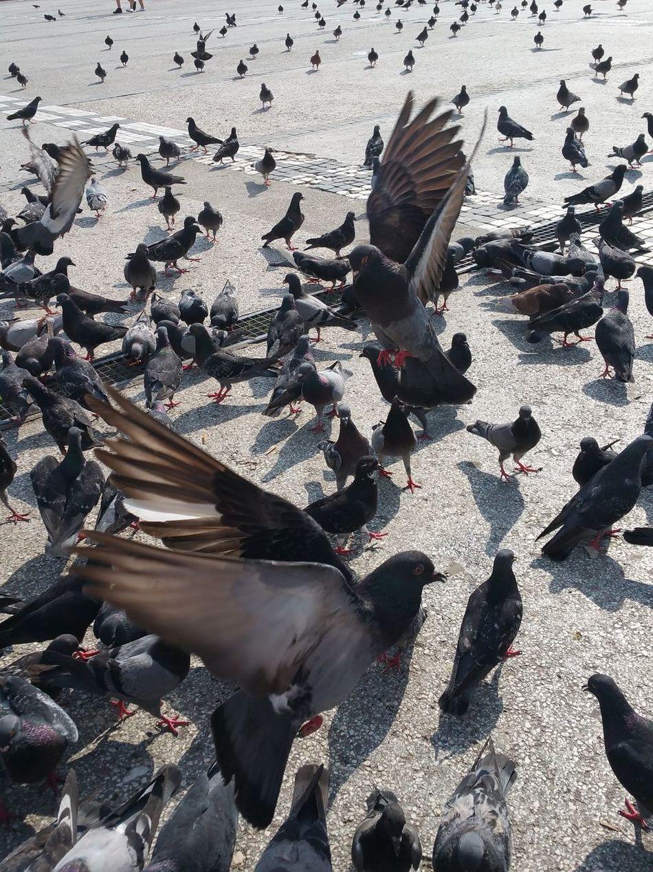 Beautiful stock photos of friedenstaube, animal themes, bird, animals in the wild, large group of animals