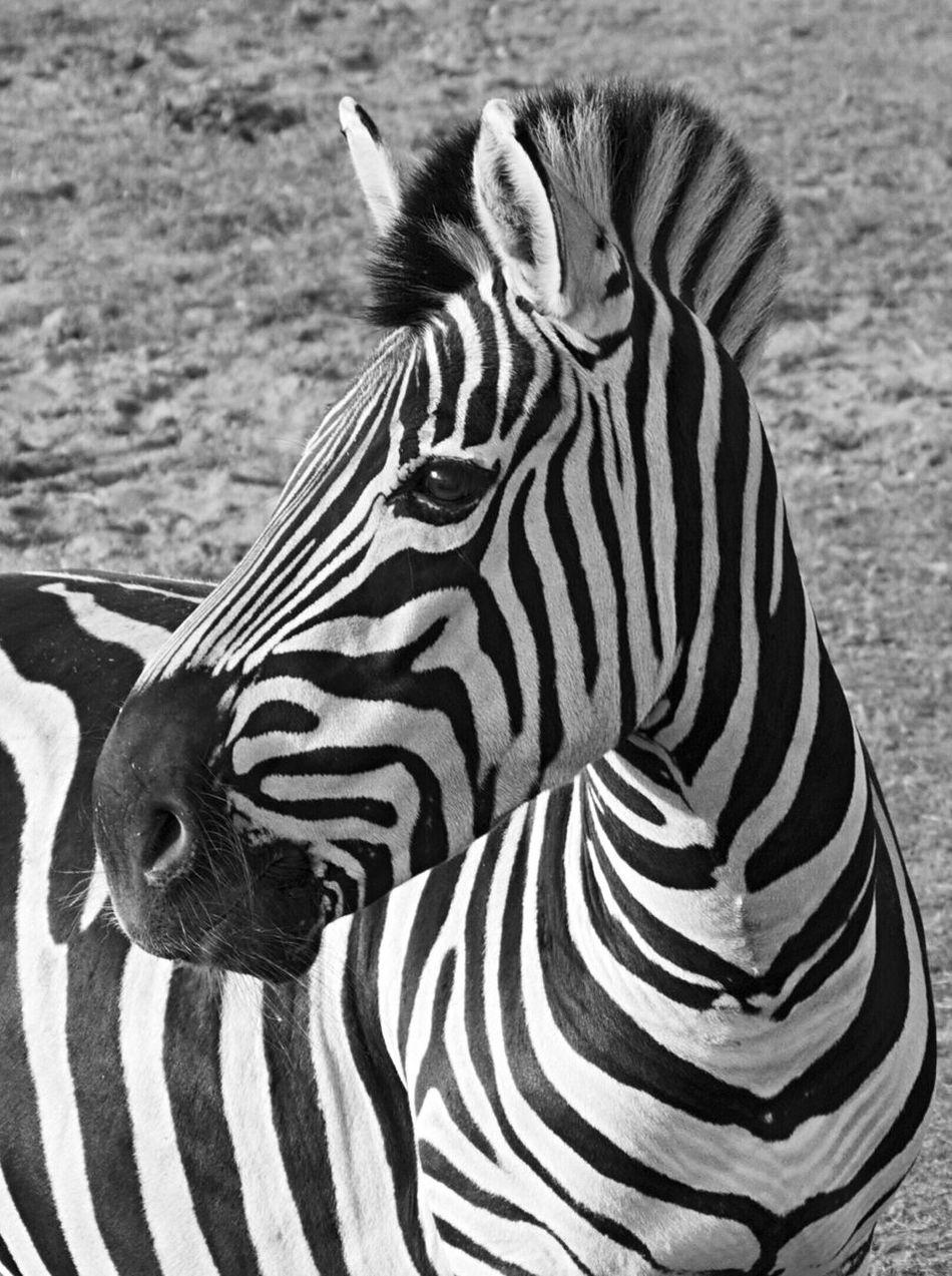 Beautiful stock photos of zebra, Animal Head, Animal Markings, Animal Themes, Animals In The Wild