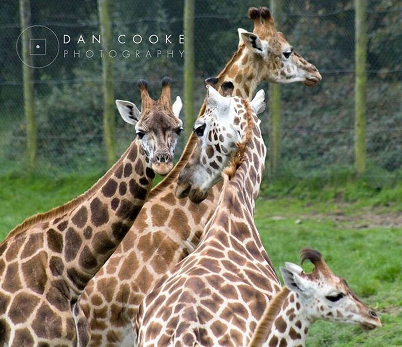 The Family Giraffe Giraffes Longleatsafaripark Wildlife @longleatofficial