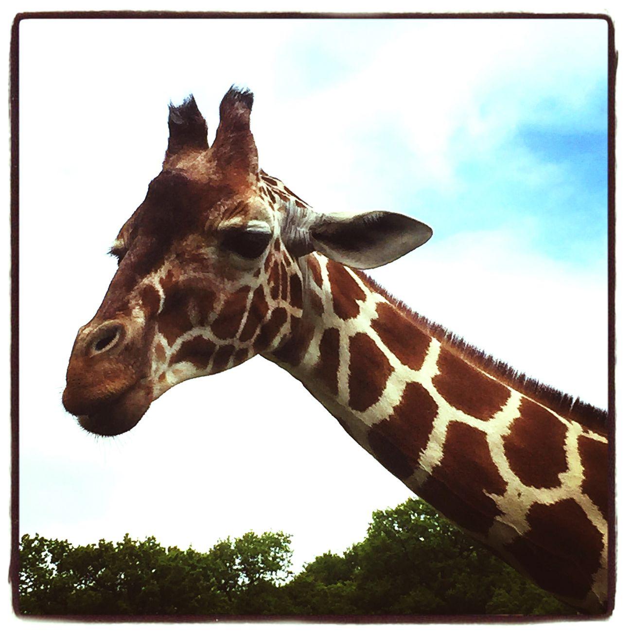 Giraffe Giraffes Animal Photography Animals Whipsnade Zoo Zoo Animals  Animal_collection