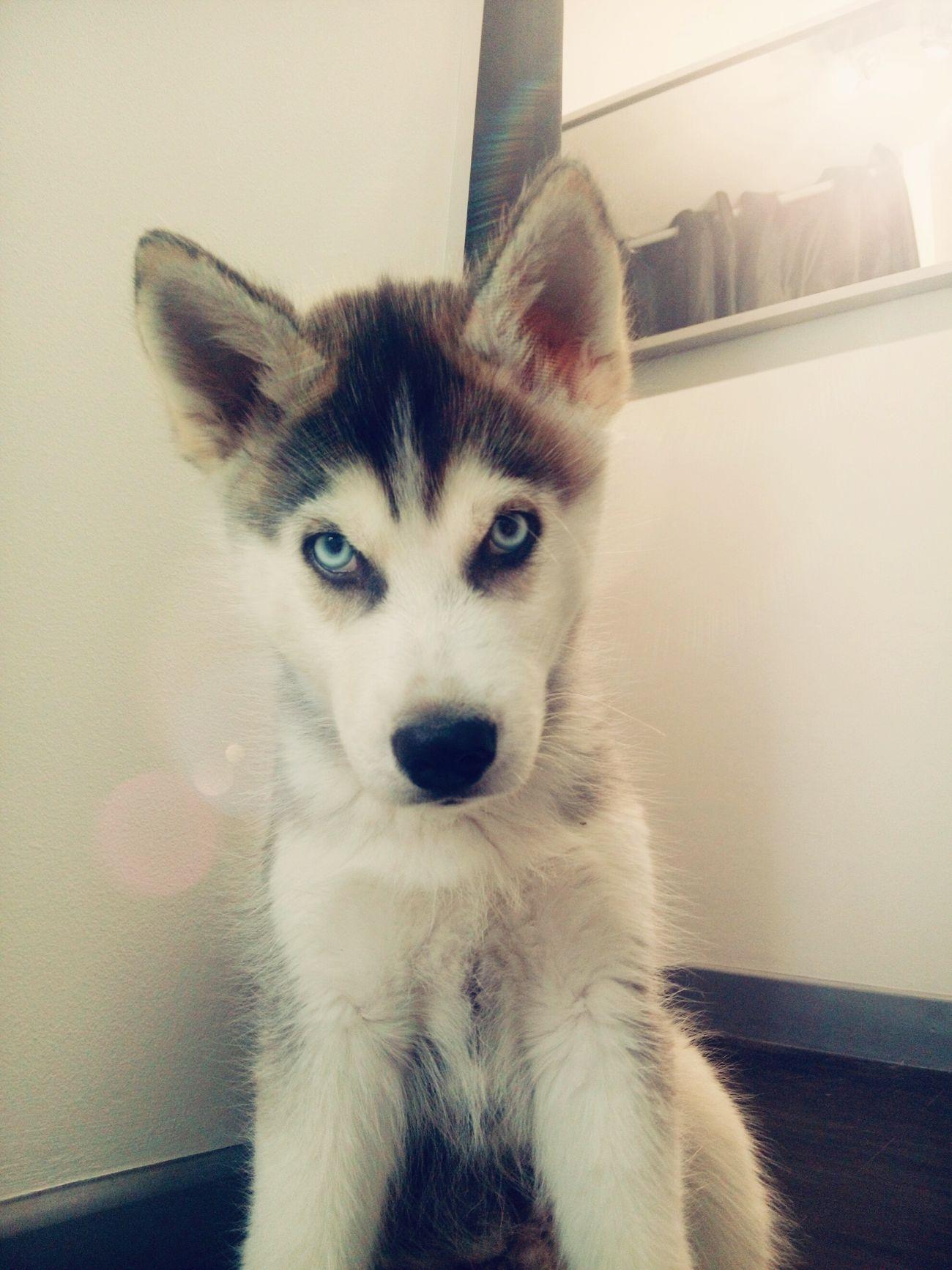 Siberian Husky Husky Puppy Husky Thug Life Eyeblue
