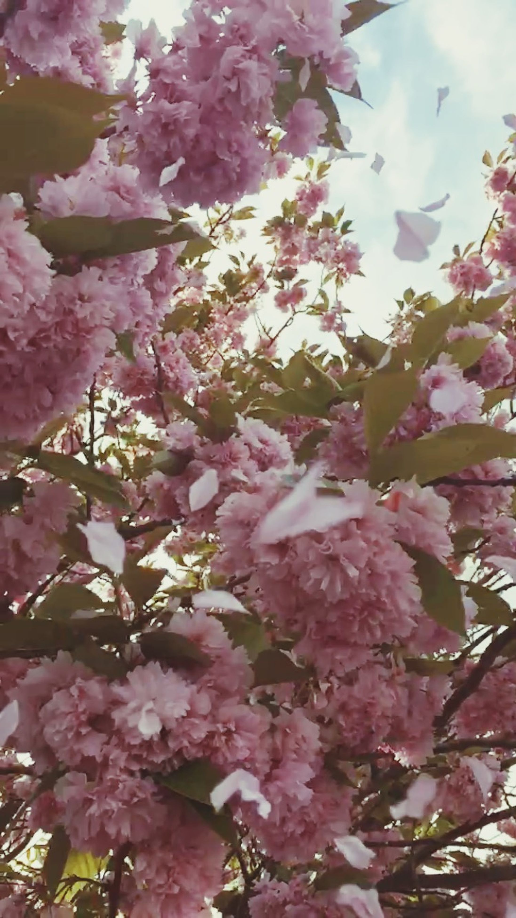 flower, pink color, freshness, growth, low angle view, branch, beauty in nature, fragility, tree, nature, blossom, pink, blooming, outdoors, day, in bloom, sky, cherry blossom, springtime, backgrounds