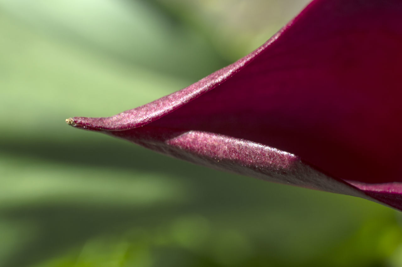 Beauty In Nature Calla Flower Close-up Day Fragility Freshness Growth Nature No People