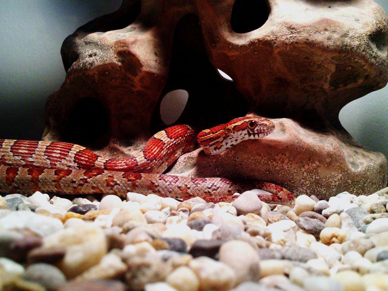 Snake Snakes Snakes Are Beautiful Snake Eyes Snakeskin Snakes Of Eyeem Snake Photography Snakelover  Snake Skin