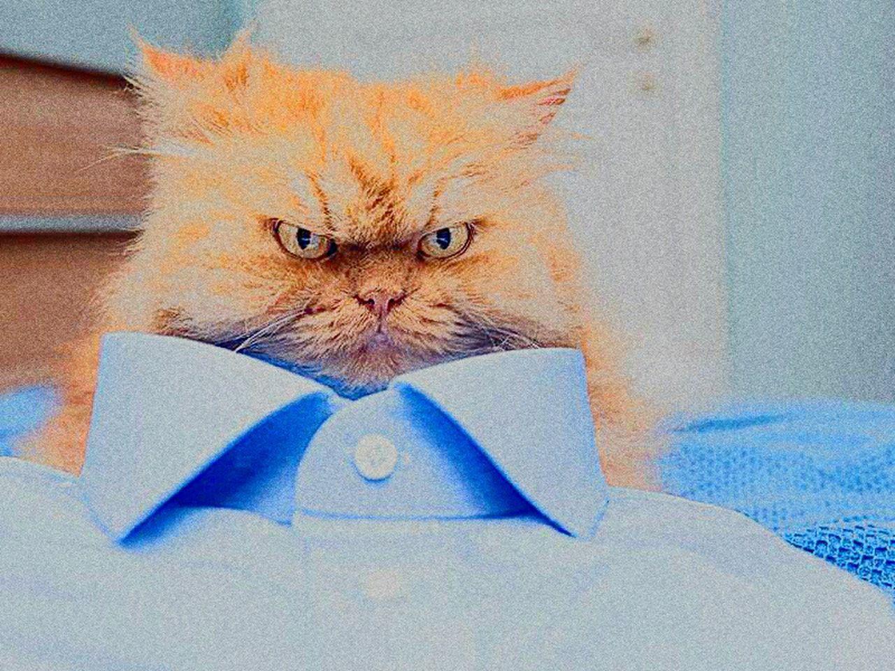 Angry cat Domestic Cat Pets Persian Cat  Cat Cats Cat♡ Cat Lovers Cats Of EyeEm Cats 🐱 Cat Eyes Cateyes Catsoftheworld Angry Cat. EyeEmNewHere Facial Expression Persian Cat  Newyork London Paris Pakistan China Facebook Archival Portrait Feline