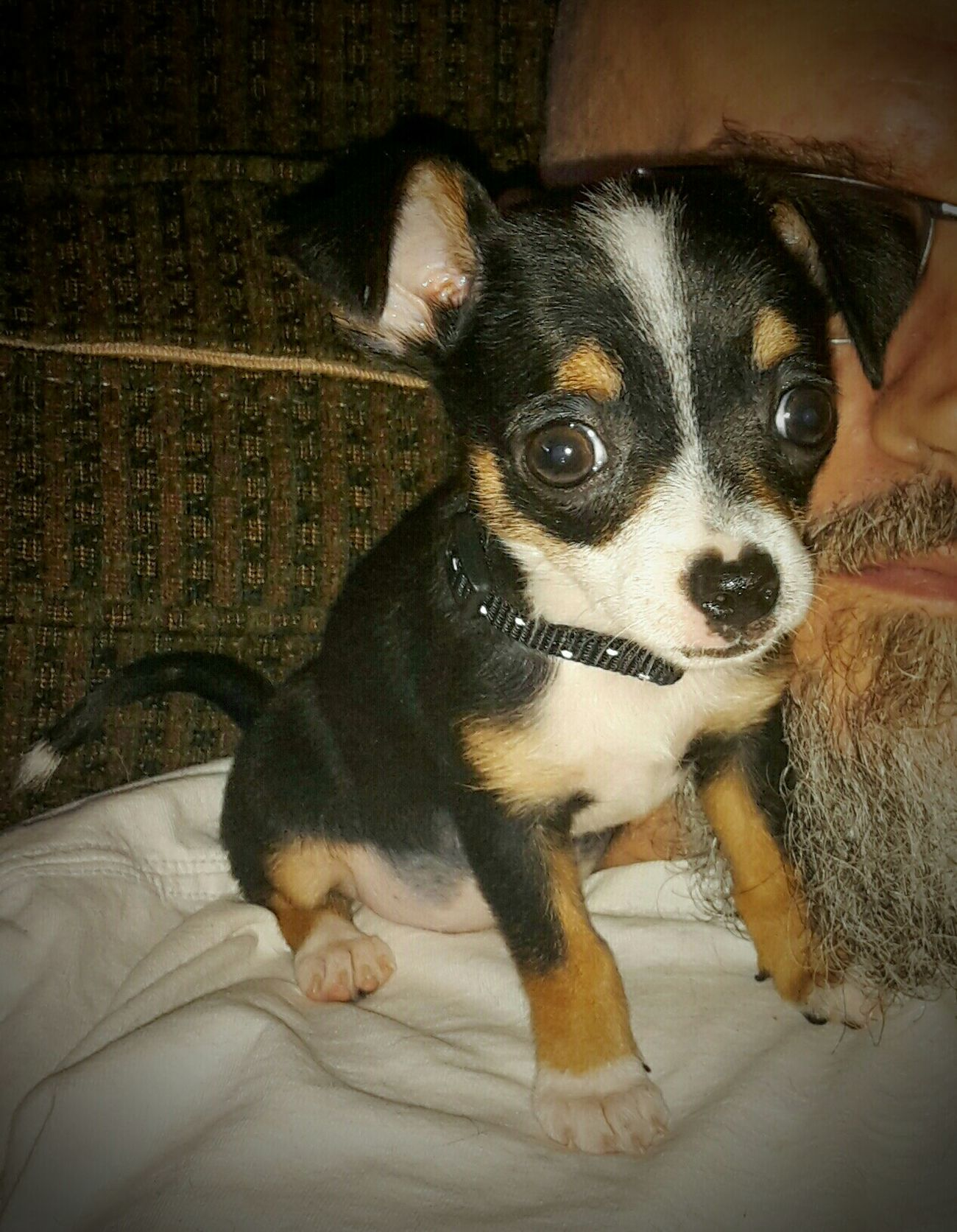 Rescued ❤ Chihuahuas Of Eyeem Chihuahua<3 Chihuahuas<3 Not A Care In The World Chihuahua Love ♥ Chihuahualife Chihuahuas Chihuahua - Dog My Dogs Are Cooler Than Your Kids Chihuahua Lovers Chihuahua Puppies Chihuahua Puppy Kat Rat Terrier Mix Dog Named Kat Spoiled Dog