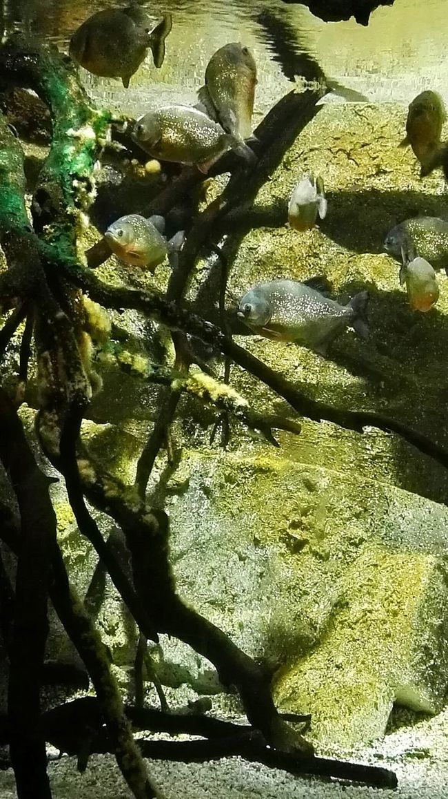 Underwater Taking Photos Piranhas