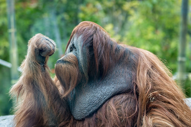 Orangutan (ape) thinking Ape Borneo Endangered Species INDONESIA Orang-Utan Pongo Sumatra  Thinking Wildlife Photography Animal Themes Animals In The Wild Day Expression Face Hairy  Mammal Monkey No People Orang-utang Orangutang Orangutans Outdoors P. Abelii P. Pygmaeus Rainforest EyeEmNewHere