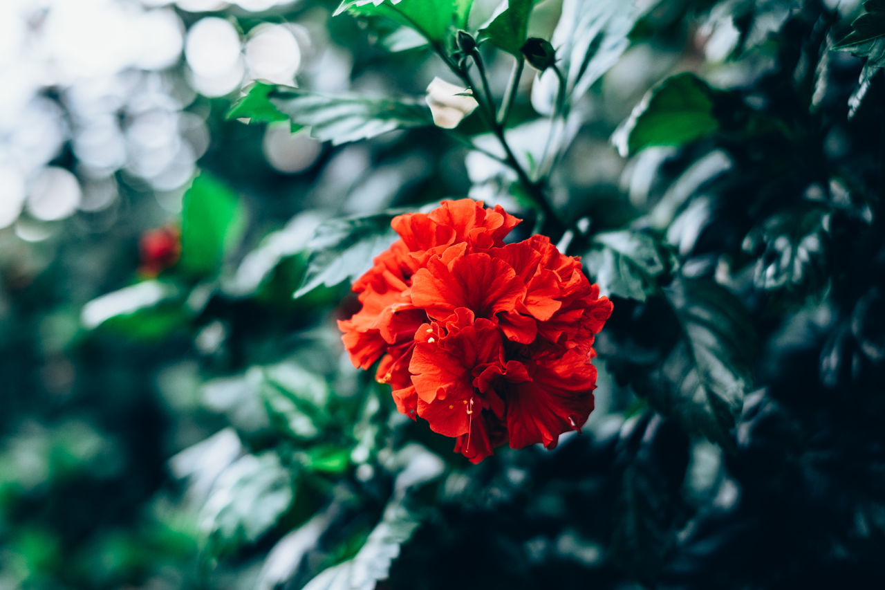 red hibiscus Backgrounds Beauty Beauty In Nature Blooming Bokeh Close-up Contrast Copy Space Flower Flower Head Fragility Freshness Gardening Green Growth Gumamela Hibiscus Light And Shadow Nature Outdoors Plant Red Selective Focus Tropical Foliage