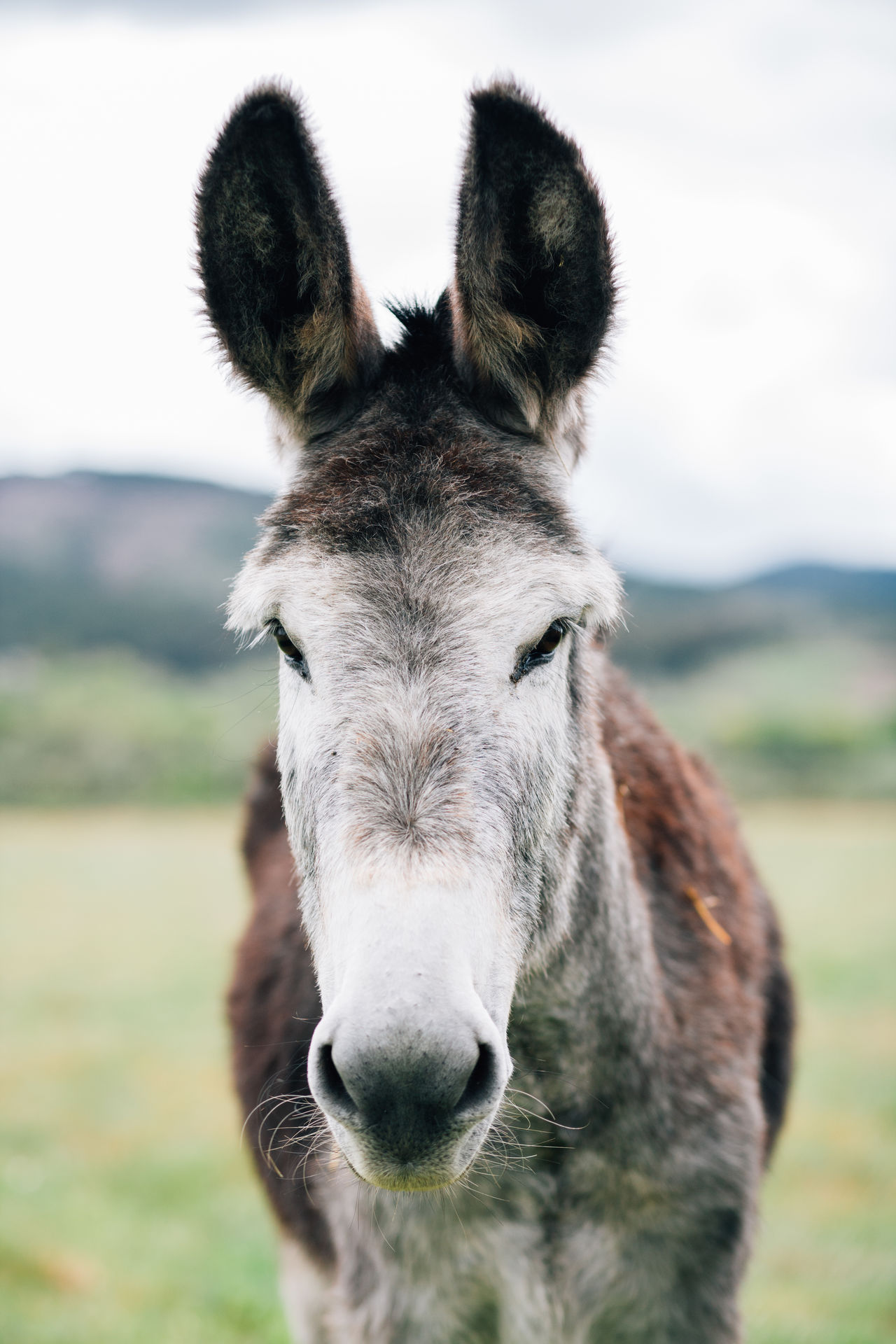 Animal Animal Head  Animal Themes Close-up Day Domestic Animals Donkey Focus On Foreground Front View Livestock Looking At Camera Mammal No People One Animal Outdoors Portrait Snout Standing