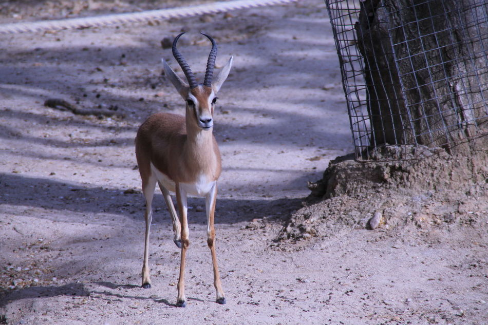 Gazelle wtching lens Animal Themes Animals In The Wild Gazelle Nature One Animal Standing