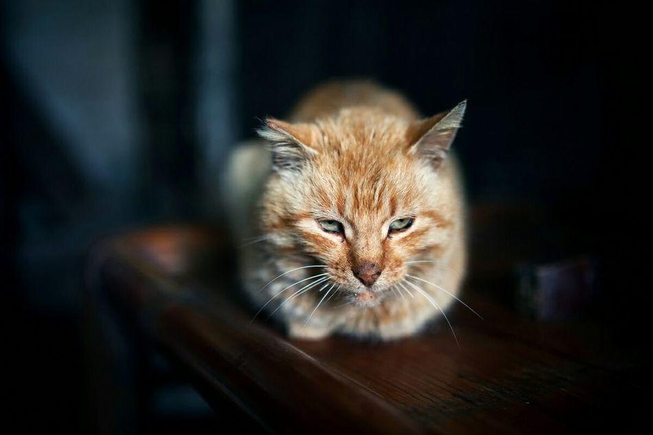 Beautiful stock photos of china, domestic cat, animal themes, pets, domestic animals