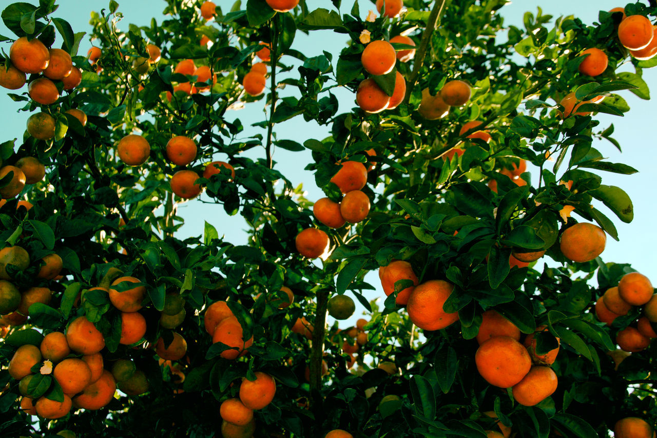 Citrus Fruit Day Daylight Food Freshness Fruit Growth Healthy Eating Healthy Food Mandarins Natural Food Nature No People Outdoors No People 😇😇😇 Orange Color Outdoors Sunnyday 🌸🌷🌿 Tree Tree From Below Upwards View