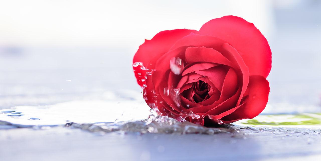 Beautiful stock photos of rosen, Beauty In Nature, Close-Up, Day, Drop