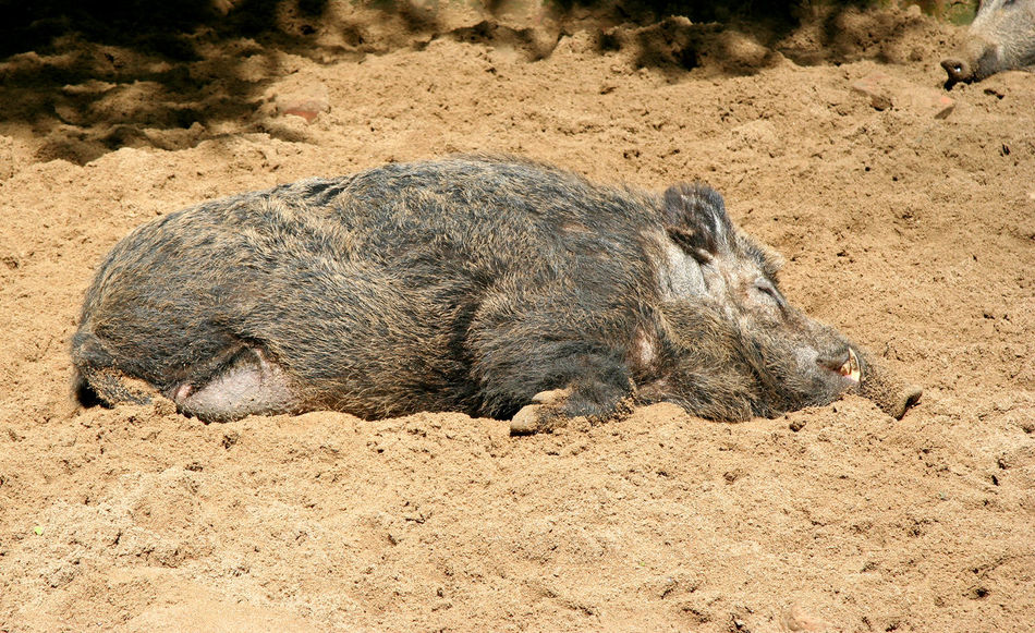 Lazy Wild Boar - sandy and relaxed wild boar Animal Themes Animals In The Wild Grey HOG Lazy Livestock Lying Down Mammal Nature No People One Animal Outdoors Pig Pork Razorback Sand Side View Sleep Sleeping Sow Swine Tired Wild Wild Boar Wild Pig