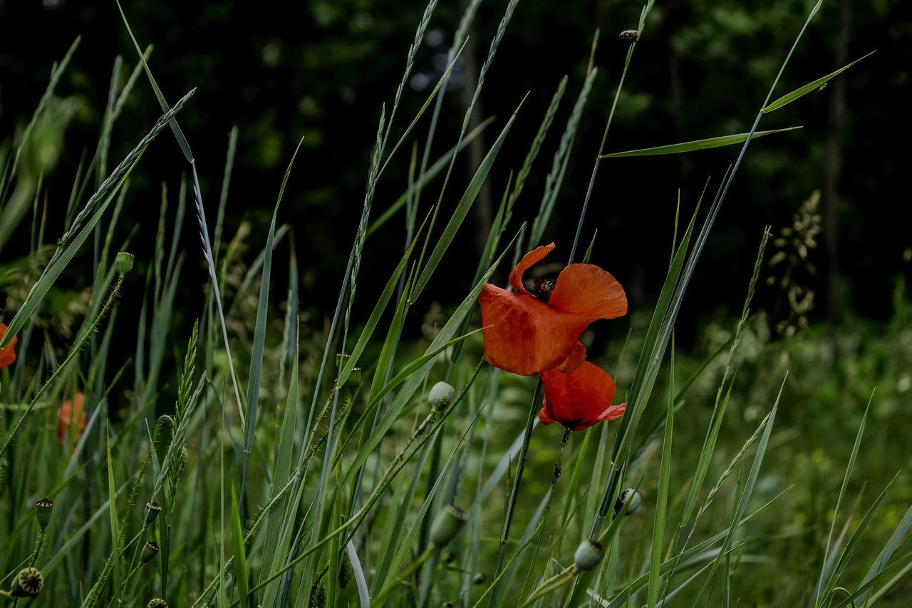 Flower Flower Head Grass Nature Outdoors Plant Poppy Poppy Flowers Red Red Poppy