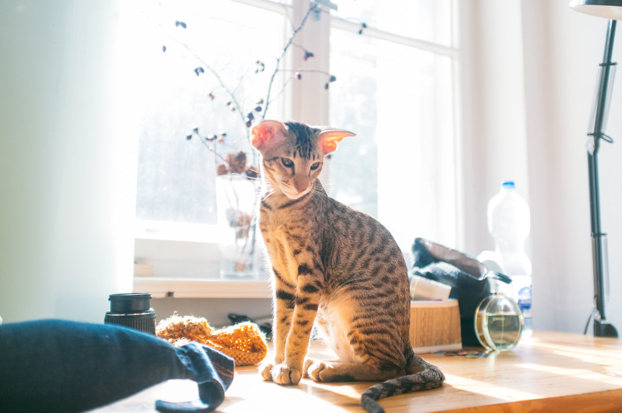 Beautiful stock photos of animals, Animal Themes, Day, Domestic Animals, Domestic Cat