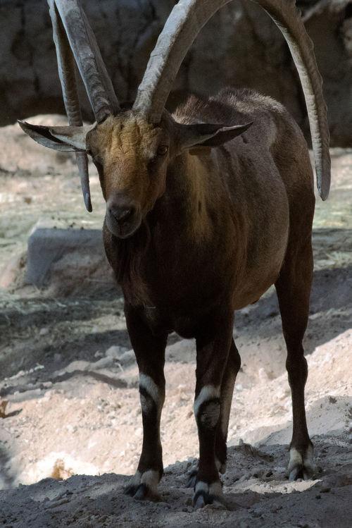 Animal Themes Animal Wildlife Animals In The Wild Arabian Goat Day Herbivorous Horned Mammal Nature One Animal Outdoors Standing