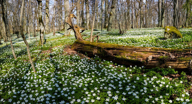 Wood Anemone Anemone Nemorosa Forest Photography Forest Canon
