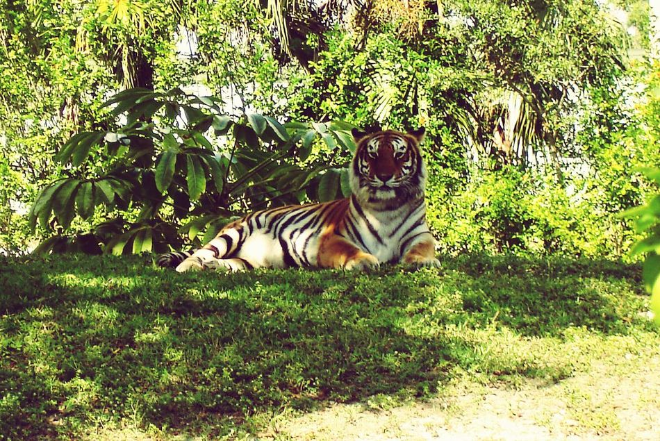 Metro Zoo Miami Tiger Face Tiger Relaxing Time Zoo Animals Freedom Photography