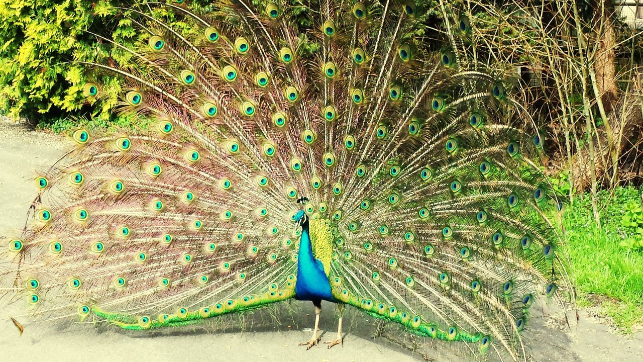peacock, bird, one animal, animal themes, peacock feather, animals in the wild, animal wildlife, fanned out, feather, nature, day, outdoors, beauty in nature, full length, no people, spread wings, close-up