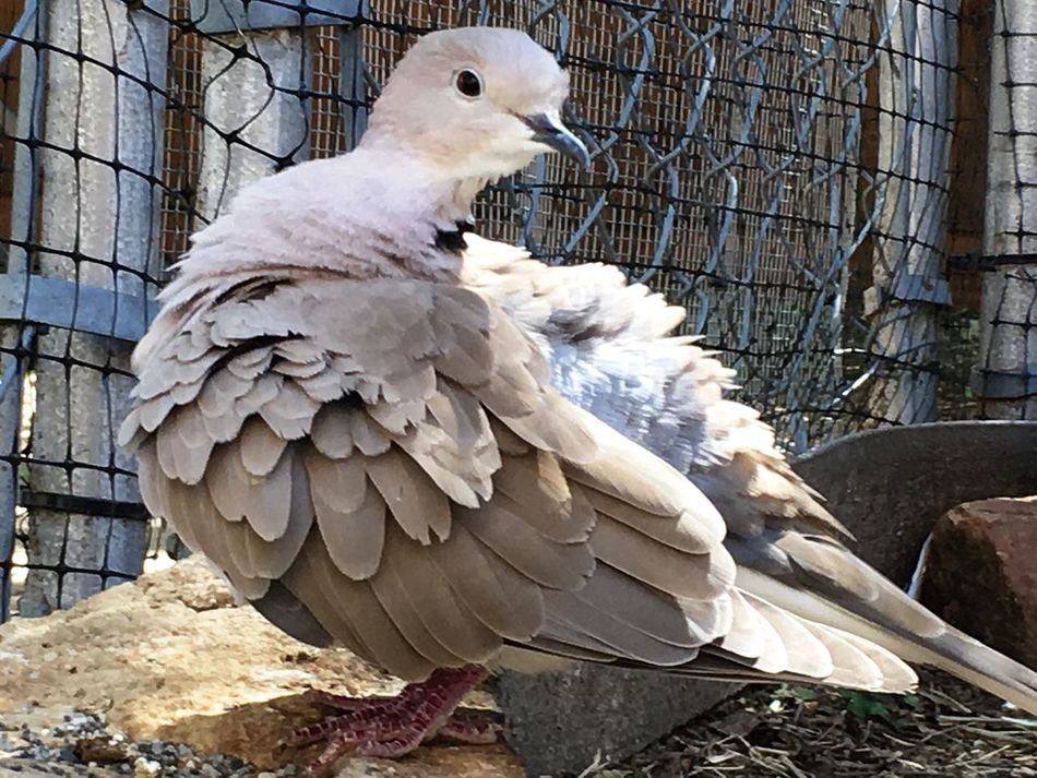 Ringneck Dove Bird Dove Preening Grooming Cleaning Fluffed Up Wild Colour One Animal No People Fuzzy Bird Fat Bird