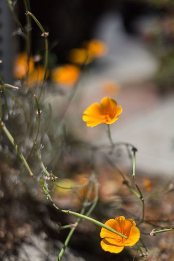 California Poppies Beauty In Nature Blooming California Poppies Close-up Day Dirt Flower Flower Head Fragility Freshness Garden Grass Ground Nature Neighborhood No People Outdoors Petal Plant Street Wildflowers Yellow Yellow Flower