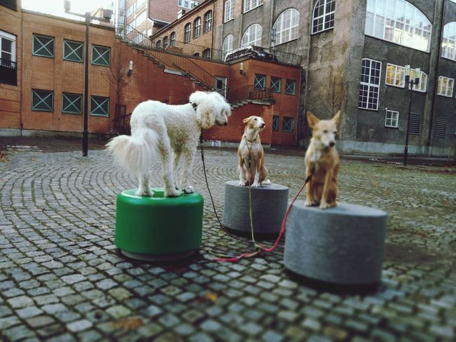EyeEm Selects Pets Domestic Animals Animal Themes Animal Dog Mammal Cage No People Domestic Cat Day Built Structure Outdoors City Building Exterior Architecture Three Animals Three Dogs Podenco Poodle City Architecture Södermalm Stockholm Sweden Stockholm