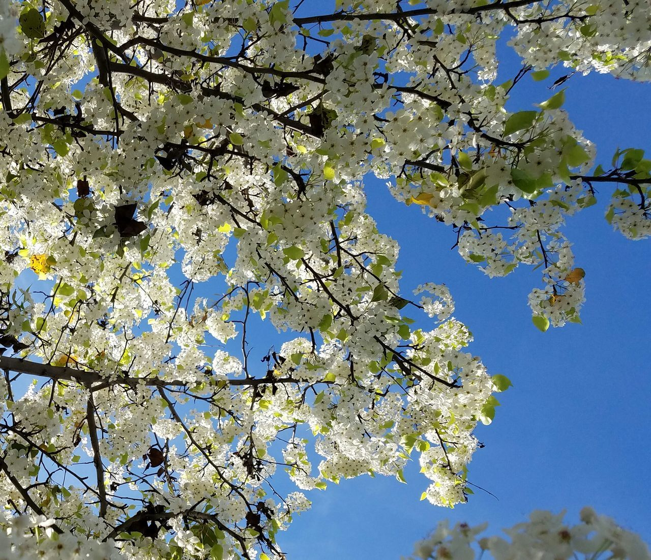 Natural Light No Edit Apple Blossoms Simple Elegance Copy Space EyeEm Best Shots Simplicity Fine Art Photography Meditation Fragility Flower Sky Low Angle View Blue Nature Beauty In Nature Clear Sky Springtime Pattern Summer Outdoors Freshness Tree Simple Light And Shadow
