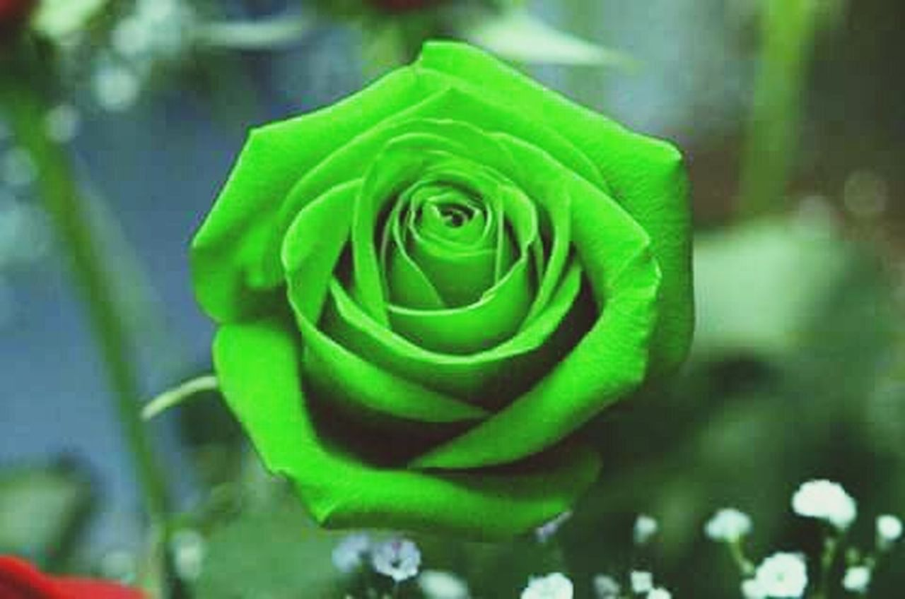 nature, green color, flower, beauty in nature, growth, freshness, rose - flower, plant, close-up, fragility, petal, outdoors, leaf, day, no people, flower head