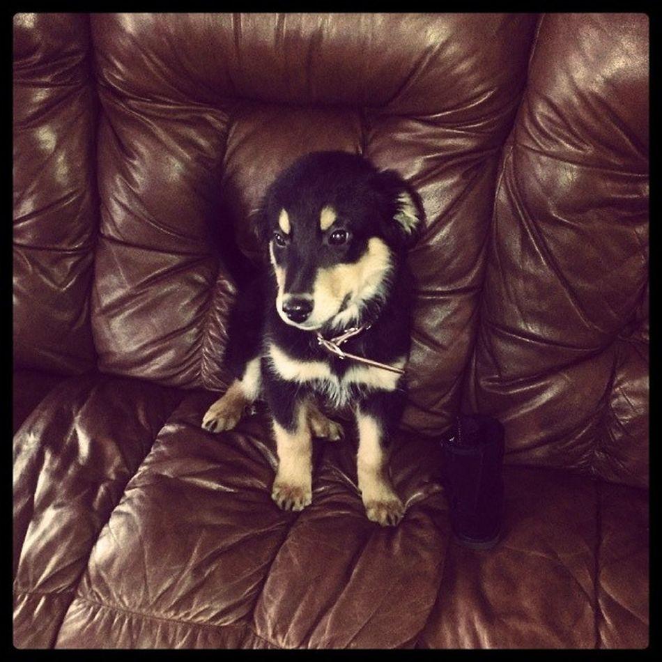 My new baby boy!!! <3 Love him to death! <3 New Puppy Englishshepherd Inlove wouldnthaveitanyotherway