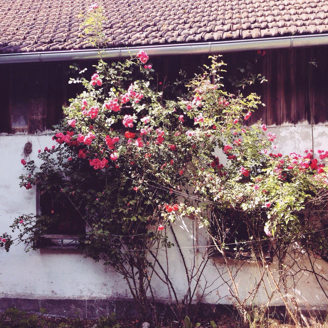 Bauernhaus Scheune Roses