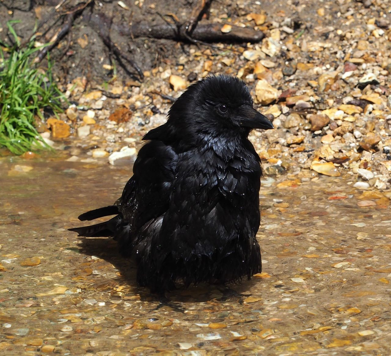 black color, one animal, animal themes, bird, no people, crow, day, outdoors, nature, close-up, mammal