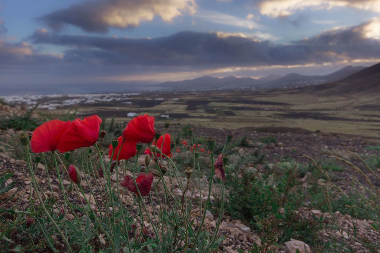 Poppies of Lanzarote in this evenings hike. Flower Red Beauty In Nature Nature Growth Fragility Plant Petal Tranquil Scene Field Flower Head Poppy Sky Freshness Outdoors Cloud - Sky Scenics No People Landscape Tranquility Poppies  Poppy