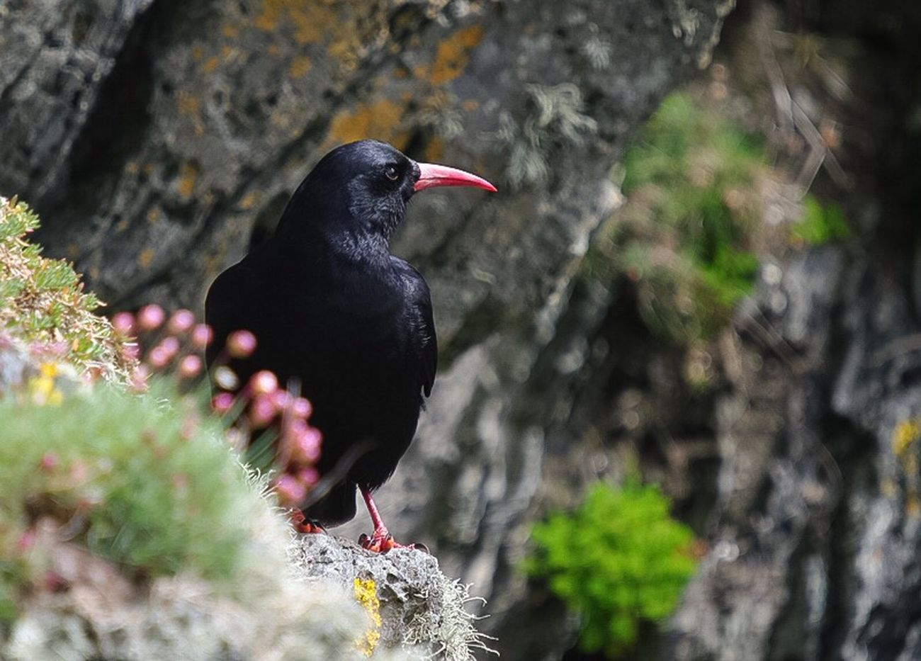 Chough at South Stack Anglesey. Animal Themes One Animal Wildlife Perching Beak Nature Outdoors Nature Beauty In Nature Bird Photography Birds_collection Bird Bird Watching Birds Of EyeEm  Corvid Chough