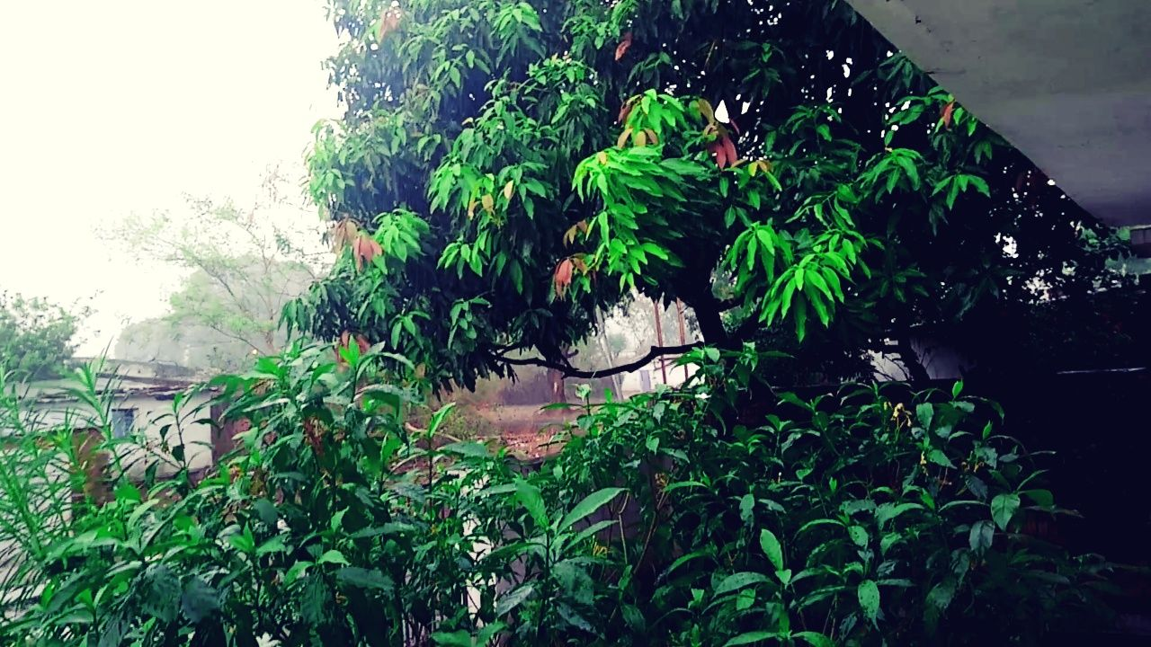 Tree Beauty In Nature Green Color Green Color Outdoors No People Day Leaf Water Tree Nature Growth Vacations Cloud - Sky Sky Freshness Rainy Days My House♥ Rain Drops On Leaves Rural Days Travel Destinations Plant Fragility Rainy Season Garden