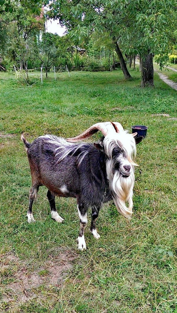 Animal Themes Mammal One Animal Day Outdoors Nature No People Agriculture Goat Grass Green Color Pet Portraits