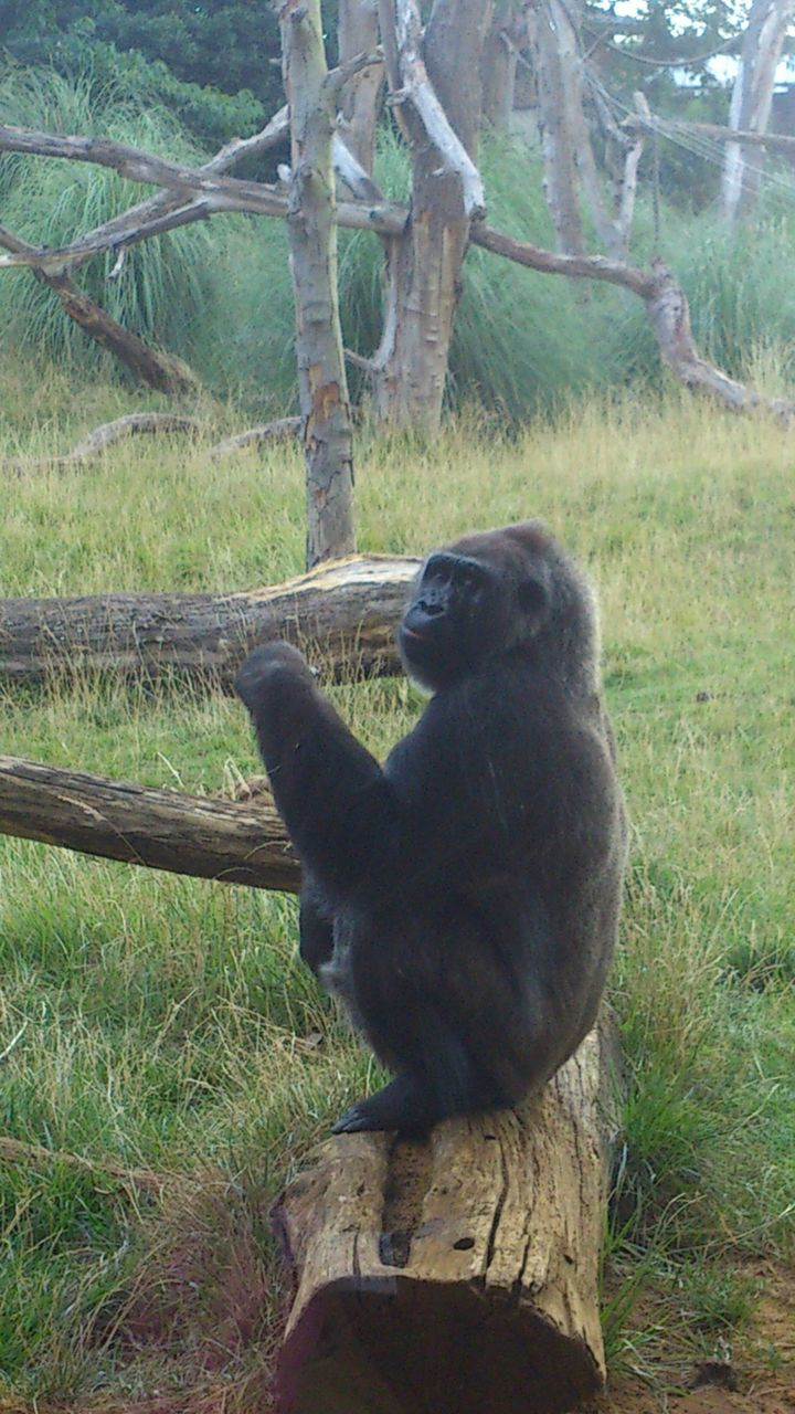 Close-Up Of Gorilla On Grassy Field