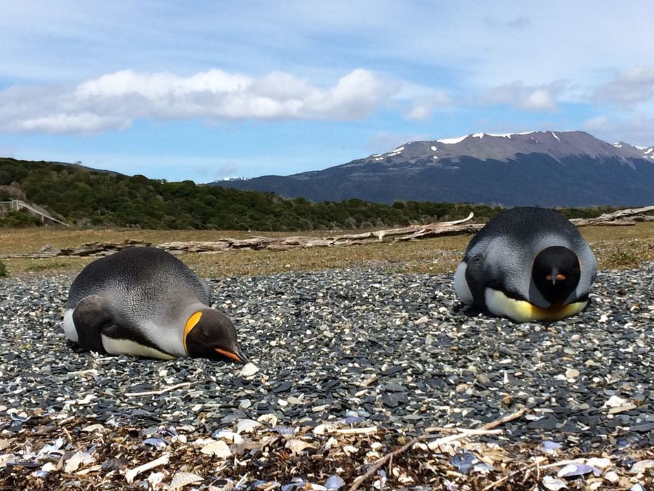 Life of the kings! Penguins Kingpenguin Ushuaïa