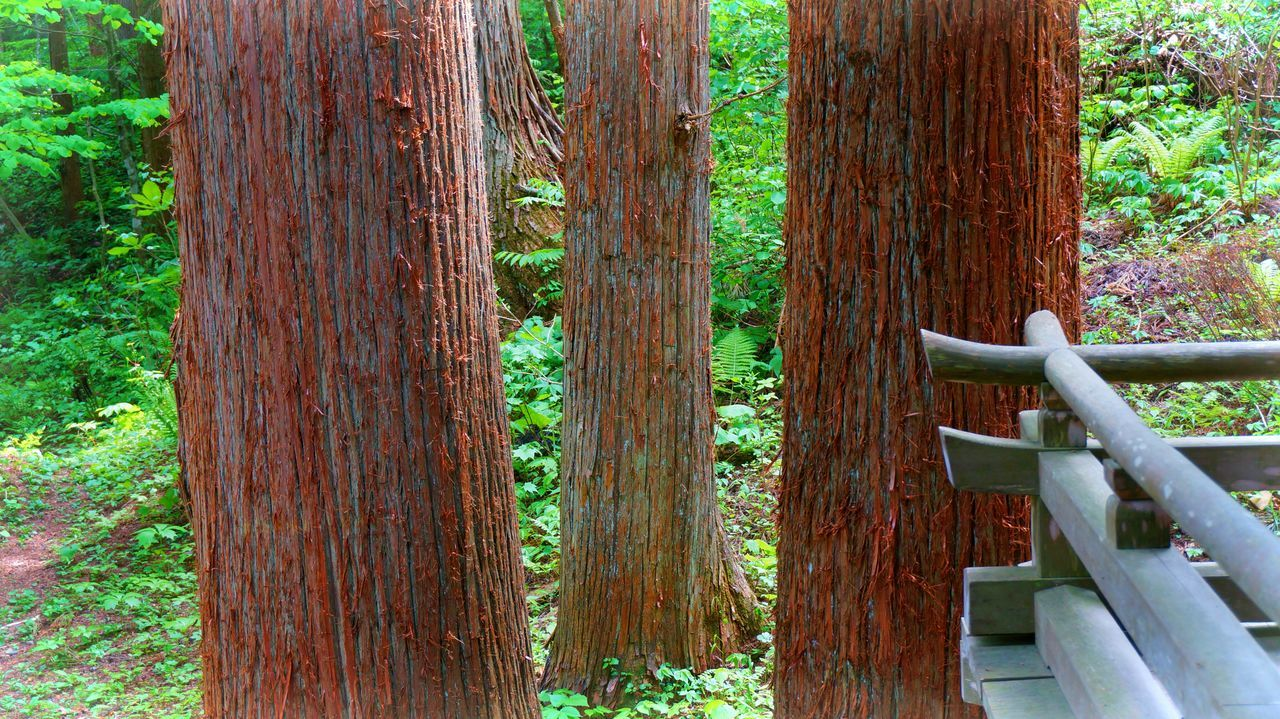 Beauty In Nature Close-up Day Forest Forest Giants Growing Japan Nature No People Outdoors Plant Tranquility Tree Tree Trunk Wood - Material Wooden Ultimate Japan Sakuramatsu Japan